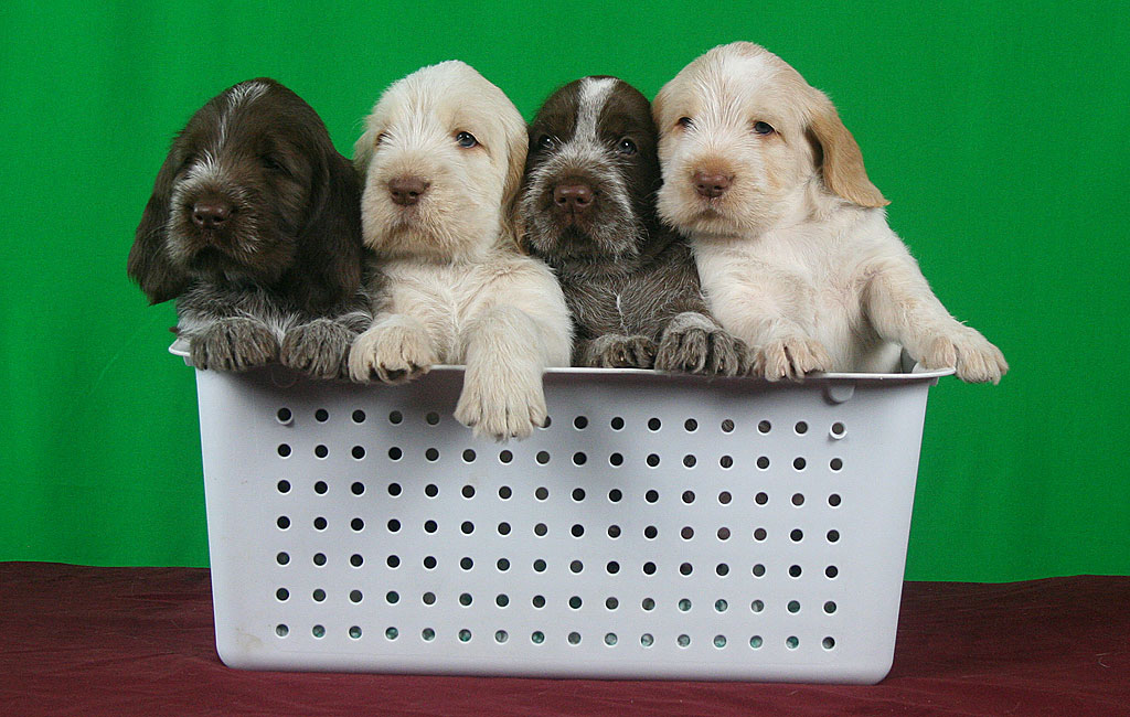 Spinone Puppies