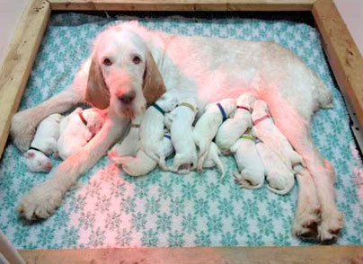 Bella E Bravo Spinone Italiano Puppies