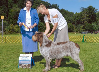Bruno Grand Champion Spinone Italiano