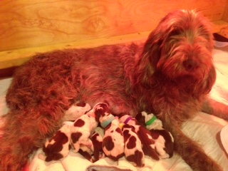 Flora and her Spinone puppies